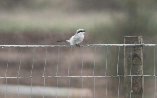 Great Grey Shrike, Cockley Cley 19th March