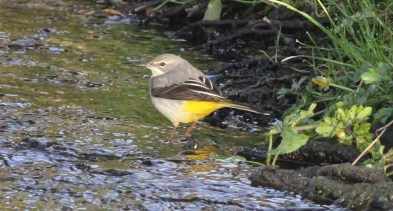 Grey Wagtail, River Wissey, 26th March