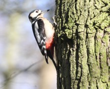 Great-spotted Woodpecker, 9th March