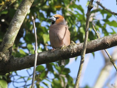 Hawfinch, male, Lynford 1st April