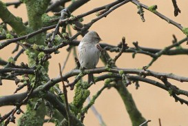Coues's Arctic Redpoll, Cockley Cley 20th March