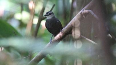 Lunulated Antbird