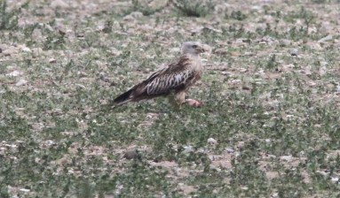 Red Kite, Gooderstone Warren, 13th May