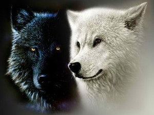 Black-and-White-Wolf-yorkshire_rose-21570902-1024-768[1]