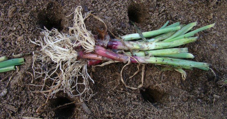 An Early Spring Great Basin Gardening Tradition