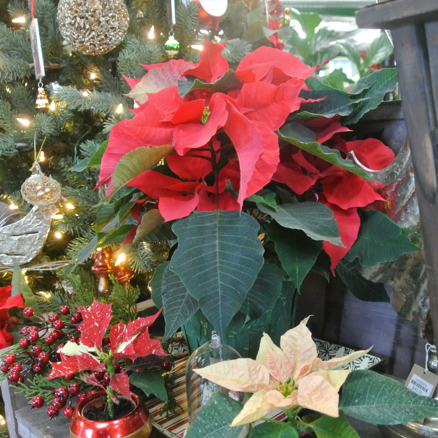 Selecting and Caring for Holiday Houseplants