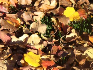 When cleaning up your yard this fall, consider composting carbon-rich leaves instead of throwing them out. Photo by Wendy Hanson Mazet.