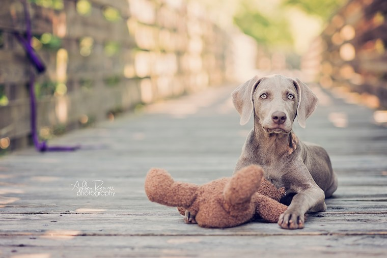 weimaraner puppy with defeated teddy bear