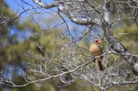 Pretty cardinal in the dogwwod tree in my yard