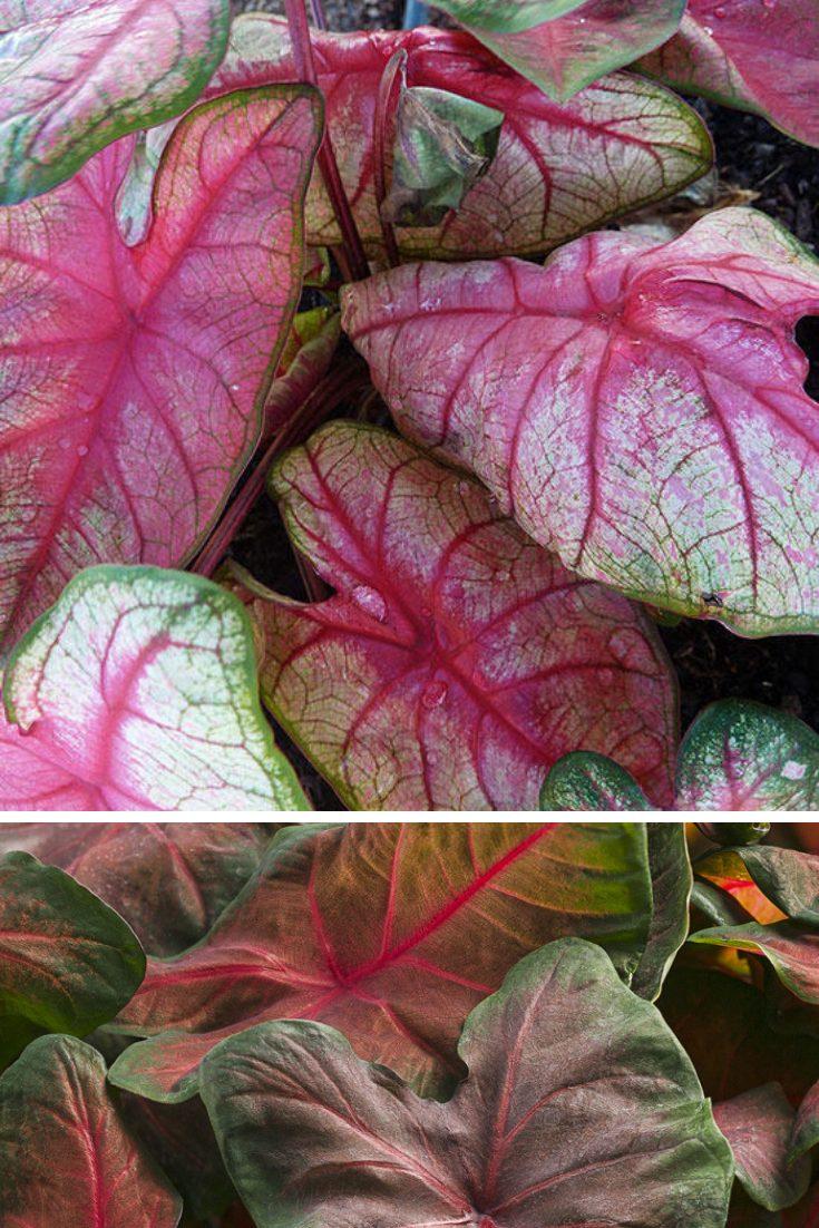 define foliage