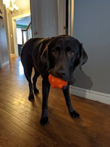 Enormous chocolate lab holding orange ball