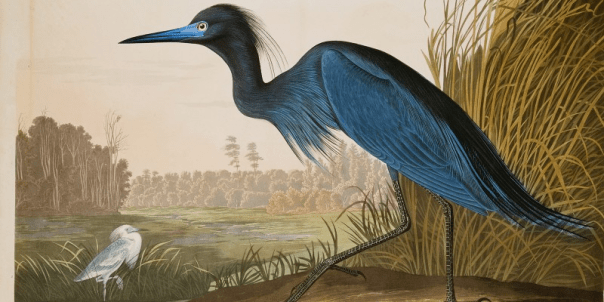 John James Audubon, Blue Crane or Heron, Collection of the Guild of St George, Museums Sheffield