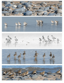 Wader flocks