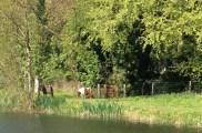 Ponies near 26th Lock