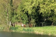 Ponies near 26th Lock