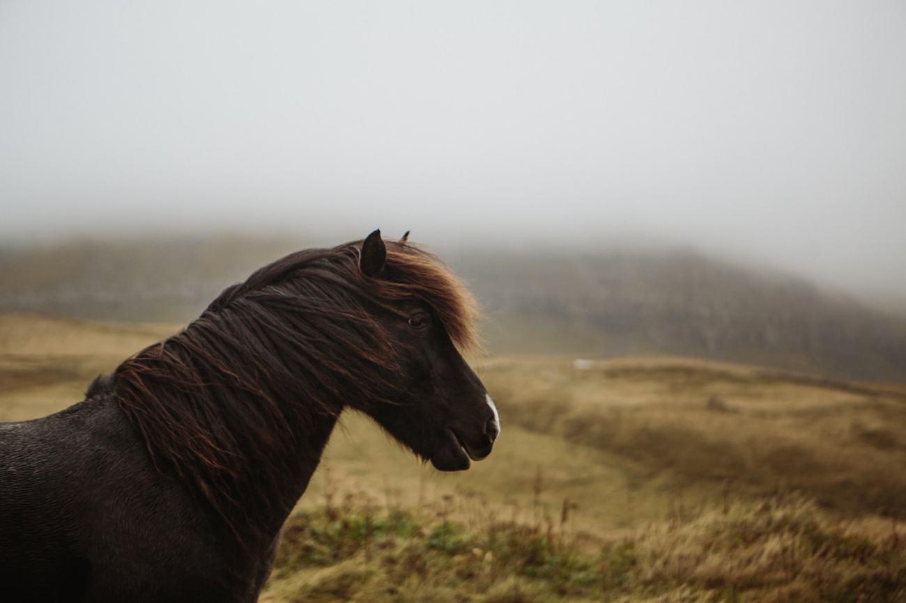 Horses in Faroe Islands