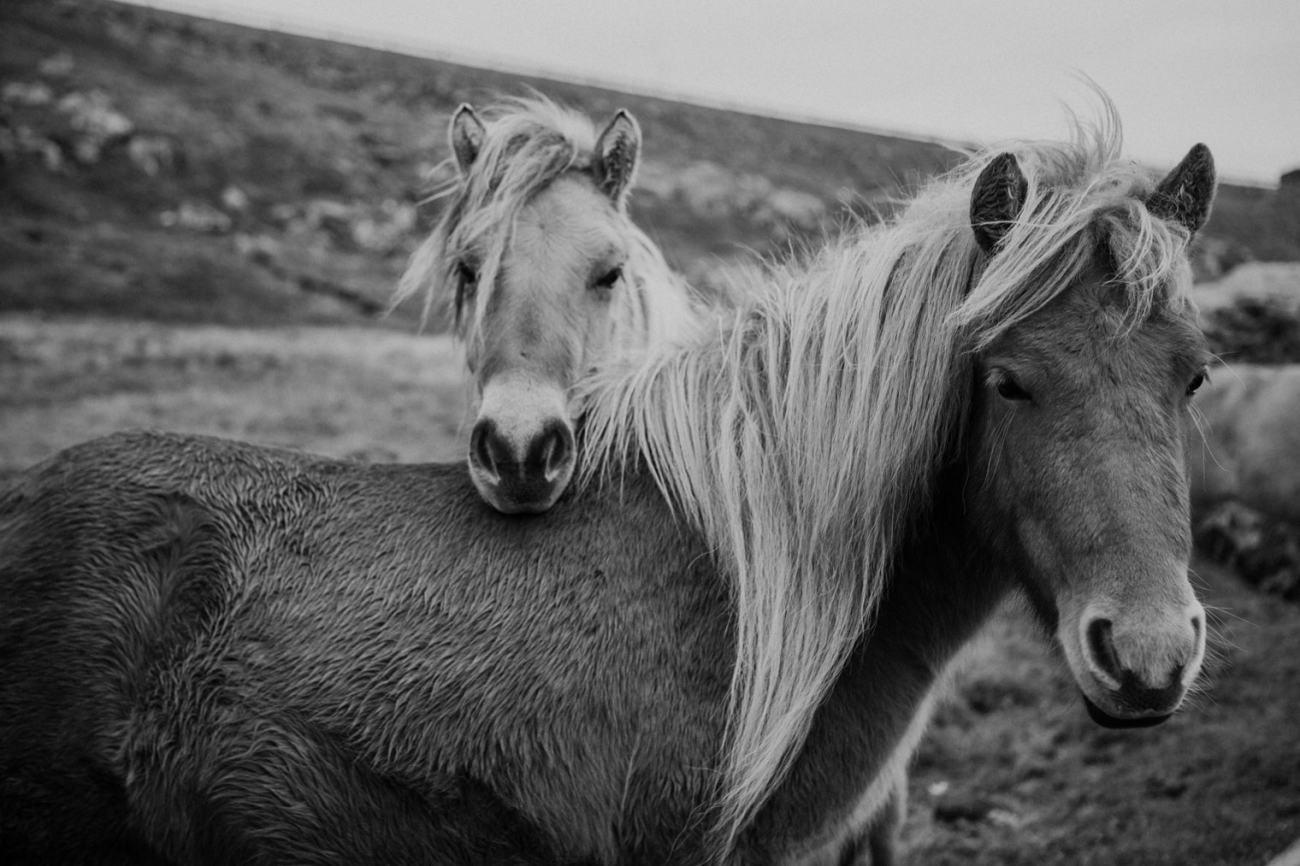 Faroe Islands horses