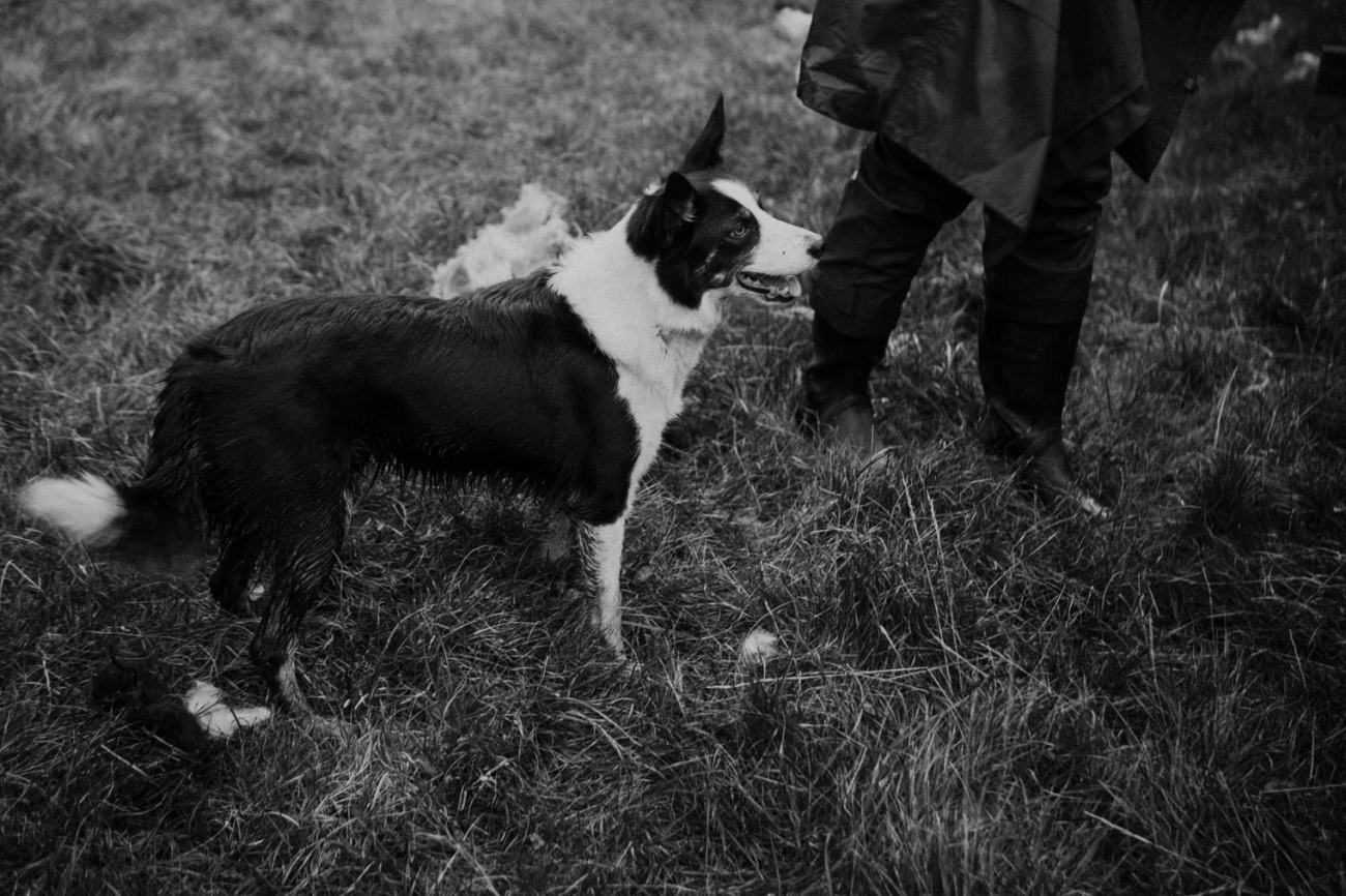 Sheep dog during sheep herding in faroe islands