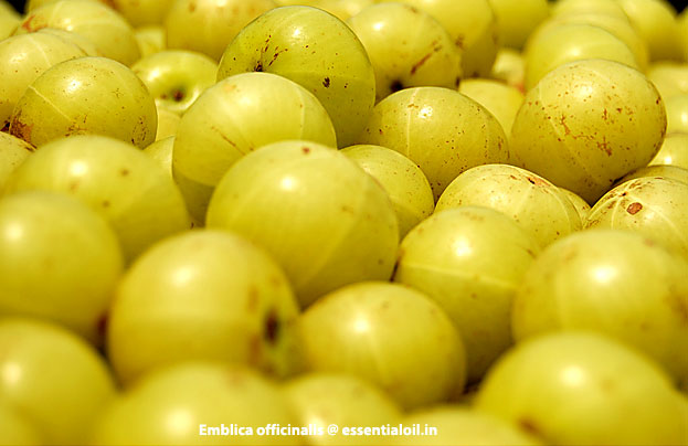 Amla.  Embliki.  Indian gooseberry