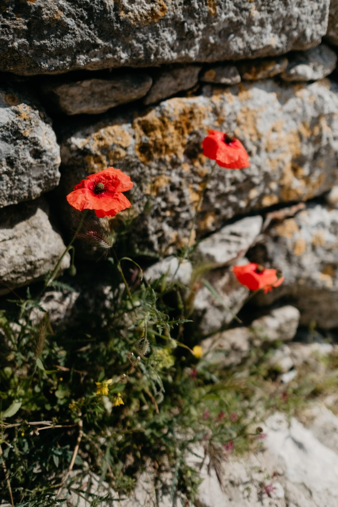 Poppies grow wild from the walls in French Provencal towns.