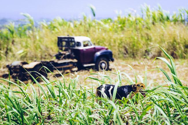 Depinay: Sugar Cane Harvest - Bedford Truck