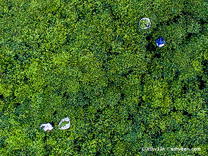 Drone Mauritius - Women Picking Tea Leaves Bois Cheri
