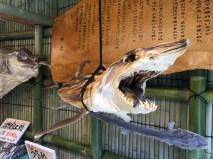 Dried up Shark
