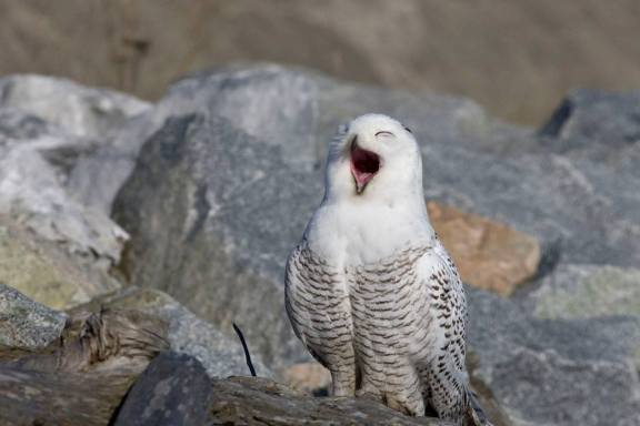 snowy owl from hank tseng