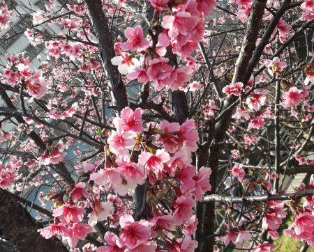 cherry-taiwan