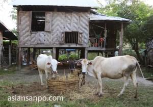 ミャンマー タウングー 牛