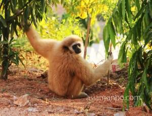 ミャンマー イエ 猿