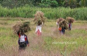 ミャンマー ベイーーボーピン 農作業