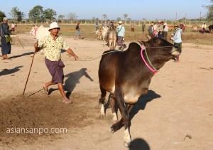 ミャンマー ピィー 牛市場