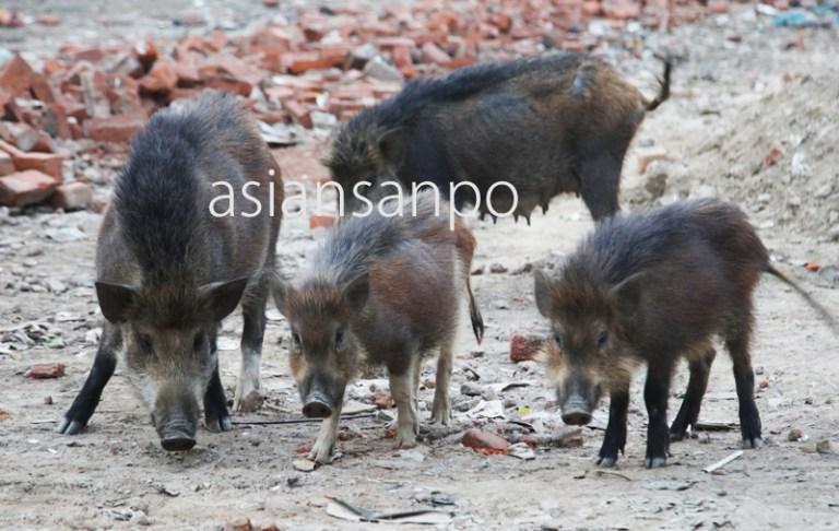 インド ニューデリー 猪