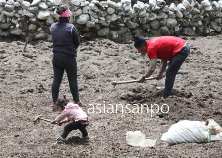 ネパール エベレスト街道 クンデ ジャガイモ 植え付け