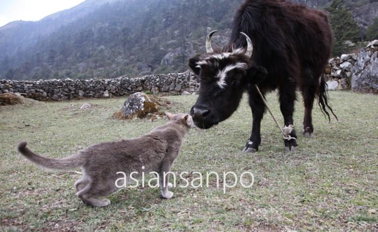 ネパール エベレスト街道 子猫 ヤク