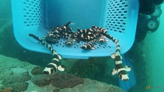 Read more about the article Tailândia ajuda tubarões-bambu ameaçados de extinção