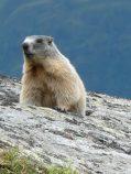 W Wysokich Taurach można spotkać stada świstaków!