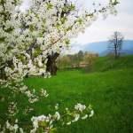 Wiosenne, kwitnące drzewa owocowe
