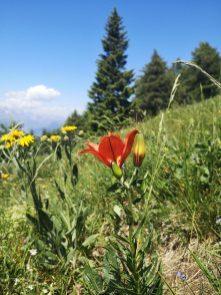 Lilią, kwiaty, łąka