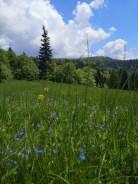 kwiaty, łąka, Beskid Sądecki