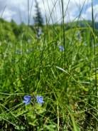 niebieskie kwiatki, łąka, Beskid Sądecki