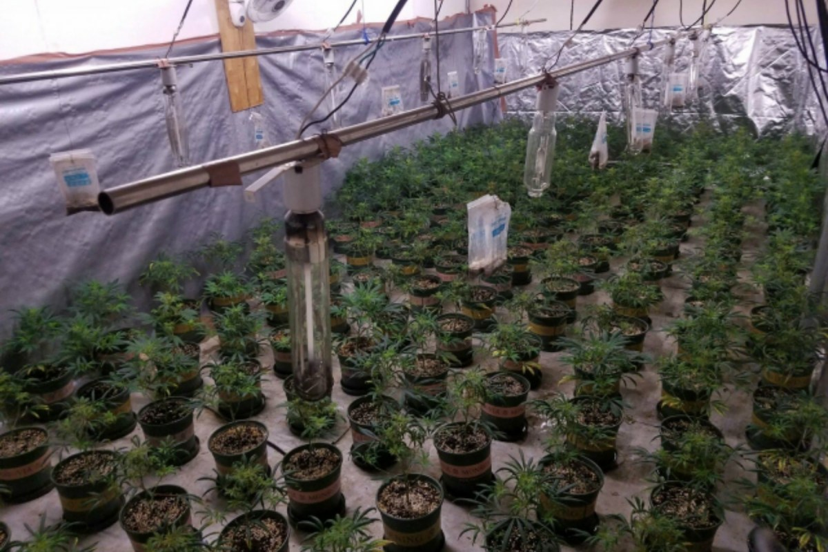 A marijuana operation was smashed by the police in Yuen Long on Wednesday. Photo: Hong Kong Police Force