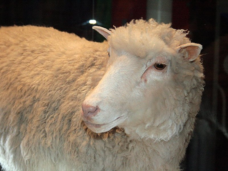 It is 20 years this week since Dolly was cloned. Photo: Wikimedia Commons