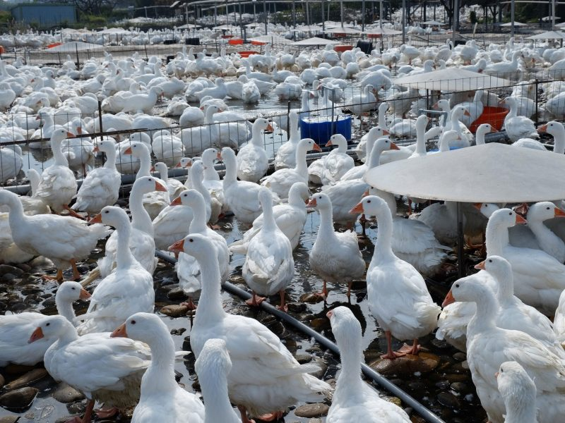 Geese at a farm in northern Taoyuan in 2015 in a period when Taiwan slaughtered nearly 6,000 geese.     AFP PHOTO