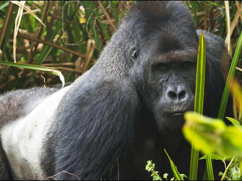 As few as 5,000 Eastern lowland gorillas remain in the wild. Photo: Wikimedia Commons