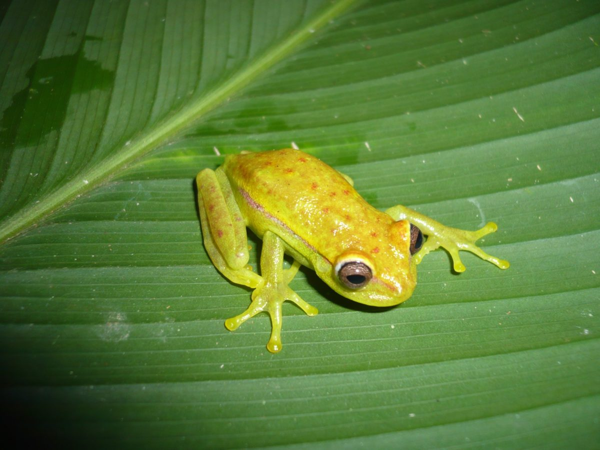 The red polka dot tree frog can glow in the dark. Photo: Wikimedia Commons