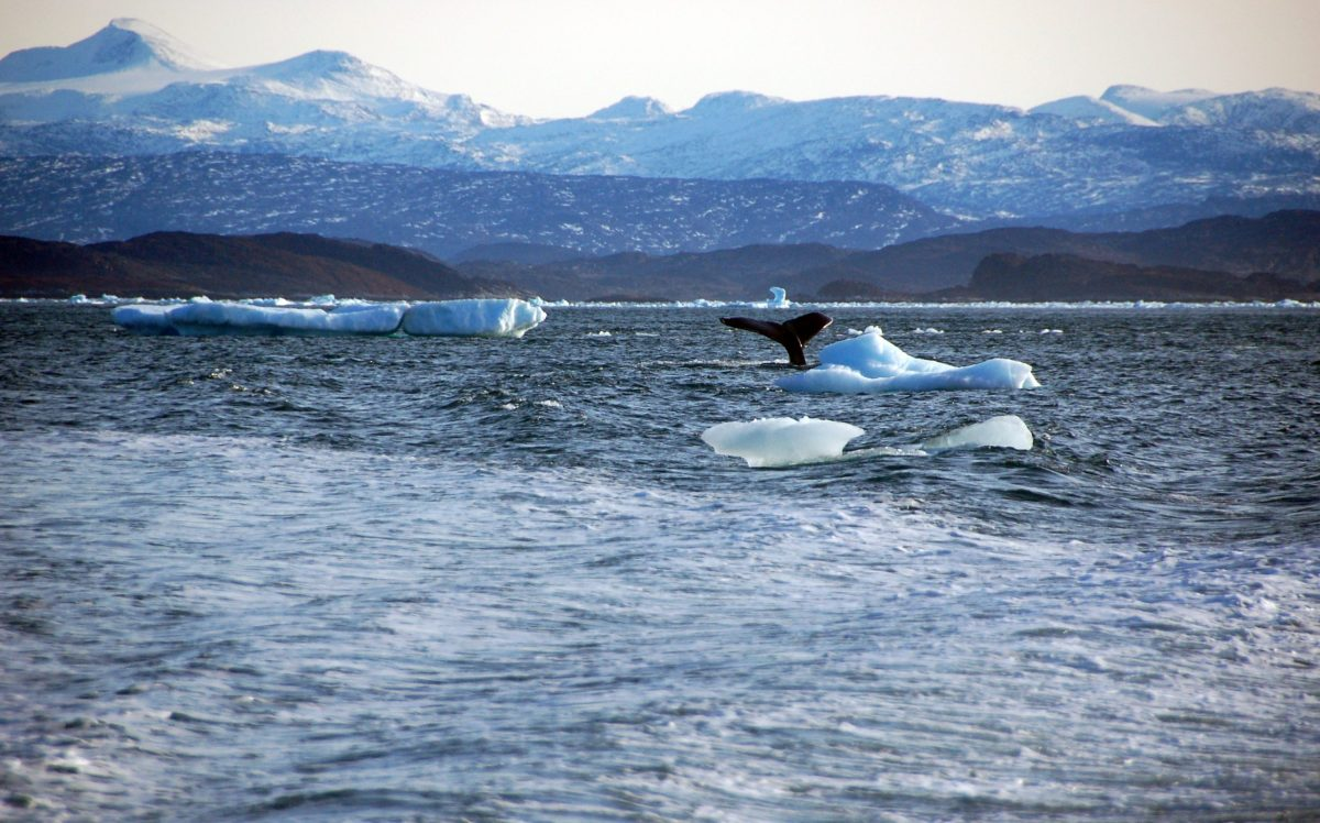 A whale dives into sea off the coast of Greenland.   Photo: Reuters