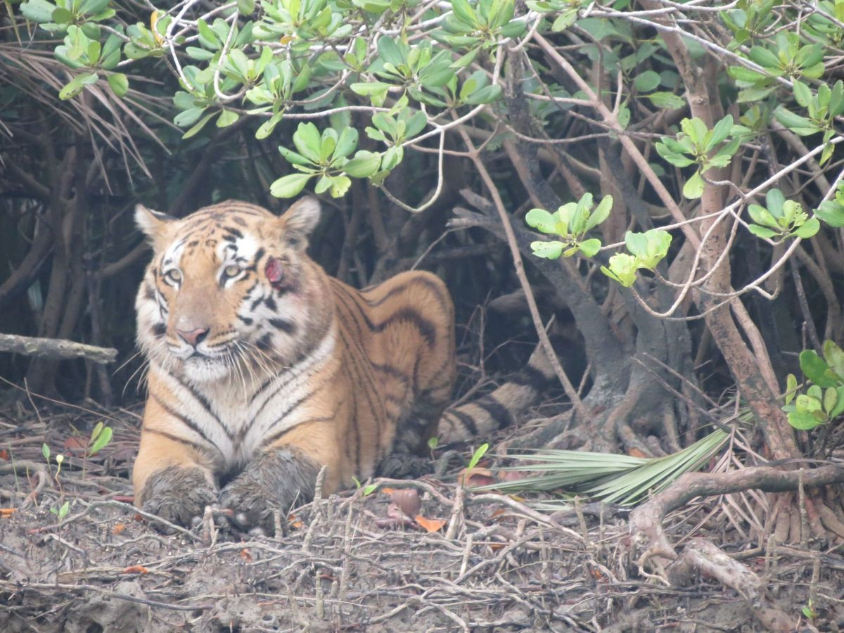A Royal Bengal Tiger rests under a mangrove tree in Sundarbans National Park. Photo: Wikimedia Commons / Jayne Stockdale