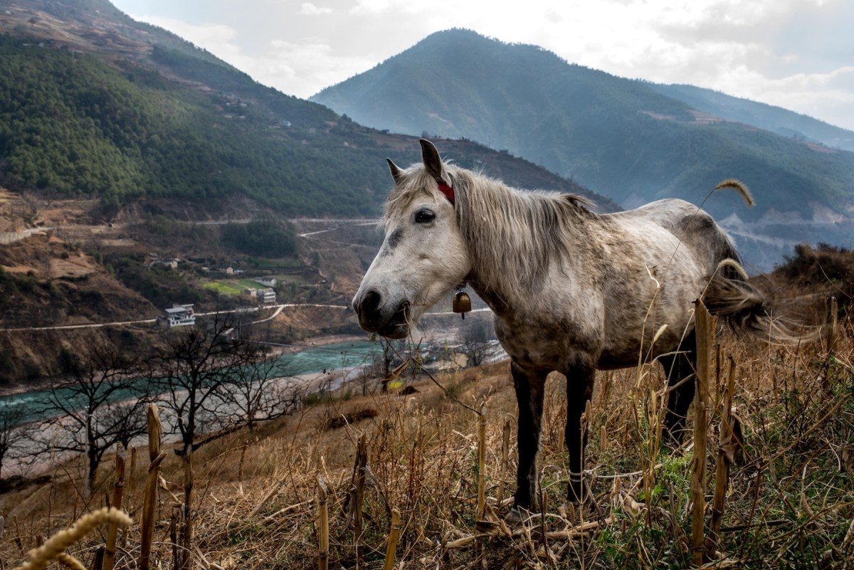 Dam progress: China's plans to develop hydropower on its stretch of the Mekong will have an impact far beyond the grazing land of this horse. Photo: Luc Forsyth/Mongabay